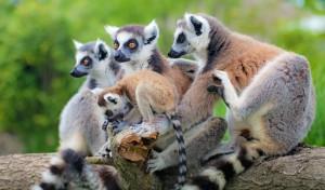 Lemurs resized 1150x627